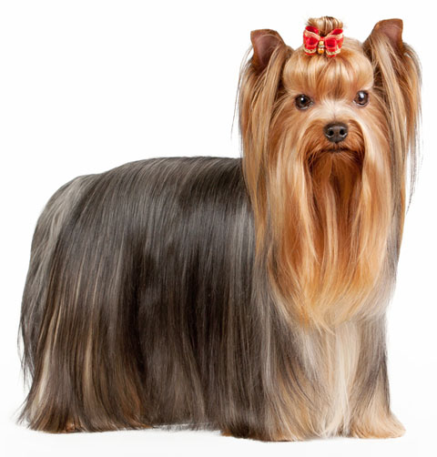 yorkshire terrier information yorkshire terrier information facts pictures training 6397